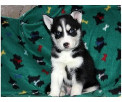 cute 12 weeks old Siberian Husky puppies available for adoption