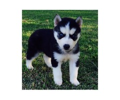pure breed Siberian huskies puppies are healthy, adorable, socialized, and playful.