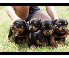 healthy pups. Two purebred Rottweiler,