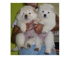 reasonable Chow chow puppies for sale