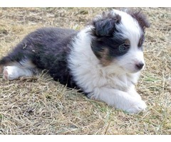Great Personality Australian Shepherd Puppies For Sale