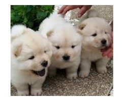 Gorgeous Crewn Chow Chow Puppies for sale
