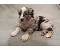 Two Male Mini Australian Shepherd (Aussies) puppies available