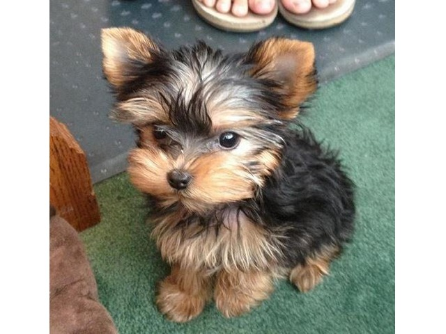AKC T-Cup Yorkshire yorkie puppies for adoption??Beautiful ...