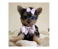 ?Available T-cup Yorkie puppies now?