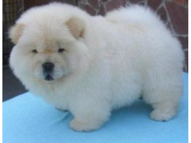 Resilientt Chow Chow Puppies Available Animals Salt Lake City