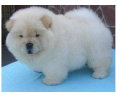 resilientt Chow chow puppies available.