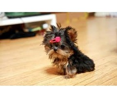 Two AKC Yorkshire Terrier Puppies available ready??
