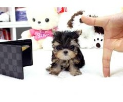 T-cup Yorkie puppy available????text?