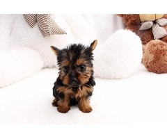 Purebred Yorkie Puppies text-