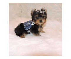 Teacup Yorkie Puppies for Re-homing text-