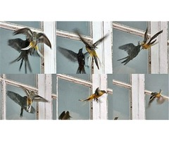 Anti Bird Strike Window Film | Bird Safety Window Films : CWS