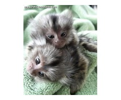 Healthy Finger Baby Marmoset Monkeys for adoption   -  909-296-7704