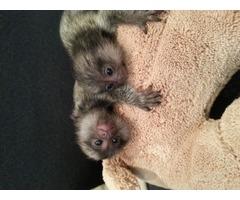9 weeks old Finger Baby Marmoset Monkeys for adoption ---909-296-7704