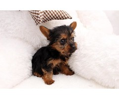 Registered T-cup Yorkie puppies ready Re-Homing