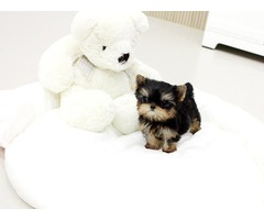 Outstanding T-cup Yorkie puppies available for re homing