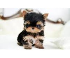 Well trained Awesome Yorkshire Terrier Puppies for adoption