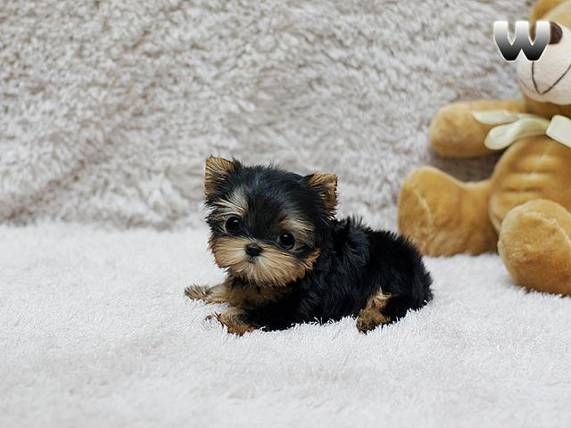 Micro Teacup male and female Yorkshire Puppies(484)381 ...