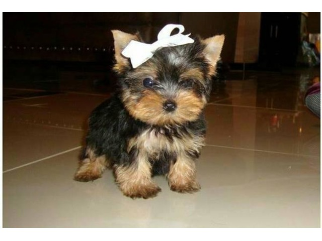Super Adorable Yorkie Puppies For Adoption Animals Albany New