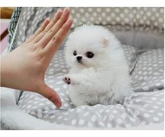 Cute Teacup Pomeranian Puppies for adoption  909-296-7704...,,