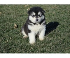 Good Looking and Lovely Alaskan Malamute puppies for Adoption