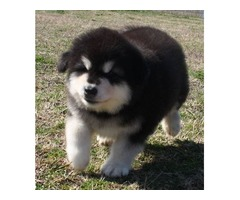 Lovely and Gorgeous  Alaskan Malamute puppies for Adoption