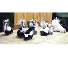 very beautiful black and white babies skunks ready to go to re home