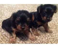 potty traned and house broken Yorkie puppies
