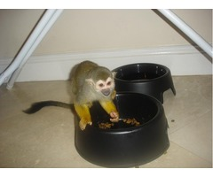 TWIN CAPUCHIN MONKEYS READY FOR NEW HOME