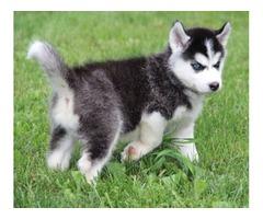 Very sweet Siberian husky