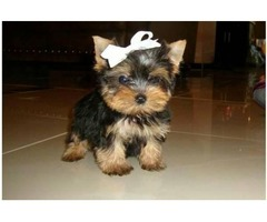 2Teacup Size Yorkie puppies For Re-Homing (484)381-0472
