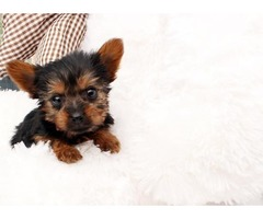 Registered T-cup Yorkie puppies ready for adoptionn