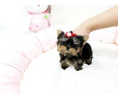 Yorkie puppies ready for Good Home now available