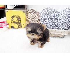 Sweet Teacup tiny size Yorkie puppies available for re homing