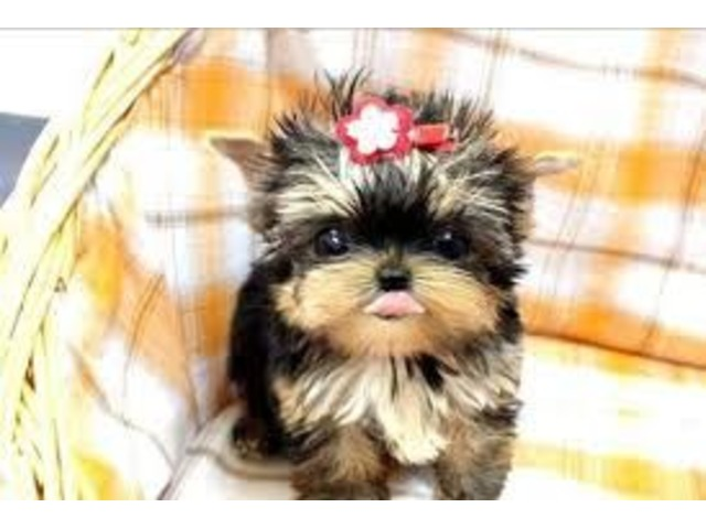 teacup yorkie puppies for sale in ohio sweet teacup tiny size yorkie puppies ready and available 3183