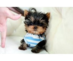 Cute Male and female Cute 13 week Teacup Yorkshire Puppies ready