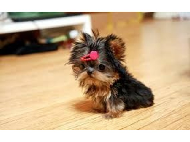 Akc Tea Cup Yorkshire Yorkie Puppies Now Available For Adoption