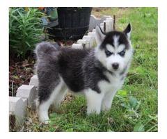 Akc registered Siberian Husky 325-400-7781