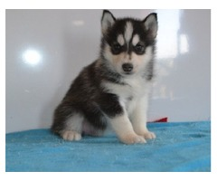 We have beautiful and Cute SIBERIAN HUSKY Puppies