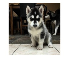 SIBERIAN HUSKY Our puppie.s are home trained