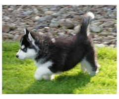 have beautiful and Cute SIBERIAN HUSKY Puppies
