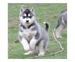 beautiful and Cute SIBERIAN HUSKY Puppies