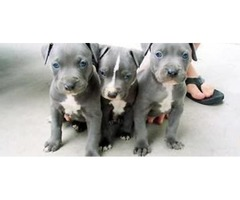 Pure Breed American Blue Nose Pitbull Terrier Puppies