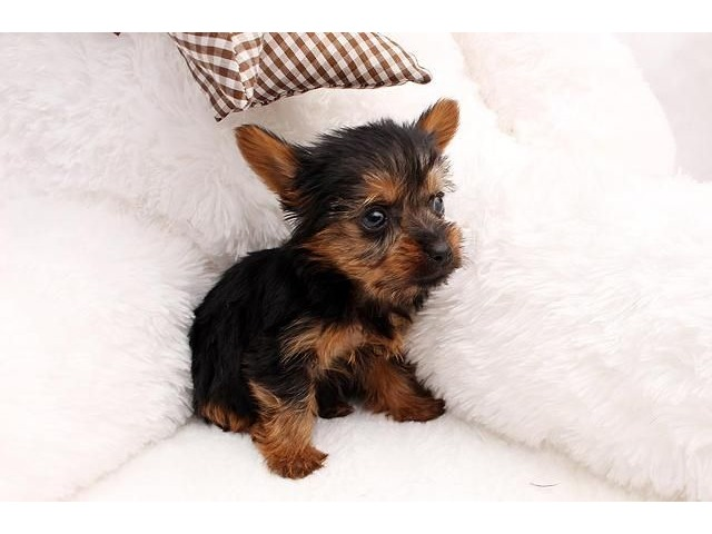 yorkie puppies for sale sacramento ca adorable tiny t cup yorkie puppies available animals 9948