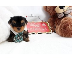Cute and Affectionate male and female T-cup Yorkie puppies available