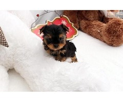 Cute Male and female Cute  Teacup Yorkshire Puppies ready