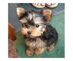 Registered T-cup Yorkie puppies ready for adoption