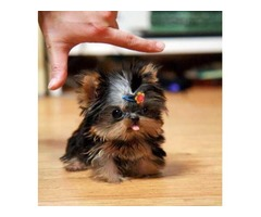 Registered T-cup Yorkie puppies available for adoption