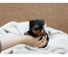 Re-Homing AKC Registered Yorkshire Puppies teacup