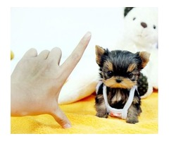 Teacup Size Yorkie puppies For Adoption